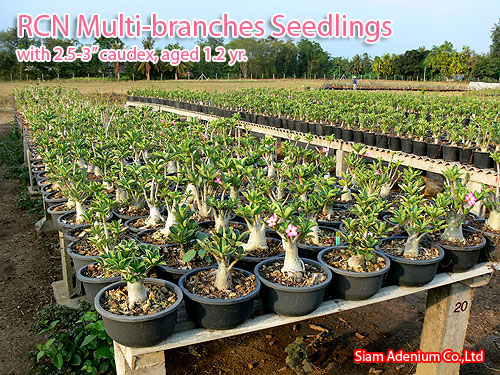 Yes There Were Always The Elished Adenium Nurseries And Longtime Growers But This Time Adeniums Produced En