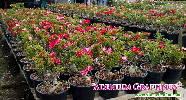 Adenium Nursery Thenurseries