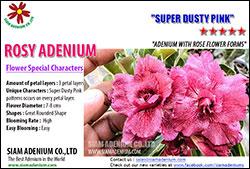New 2015 Rosy Adenium