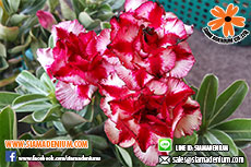 Rosy Adenium