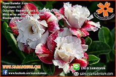 New 2016 Rosy Adenium