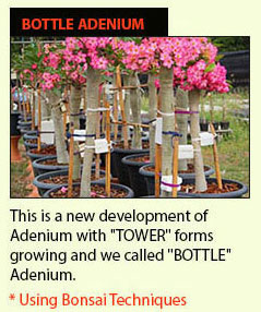 The Best Adenium in the World