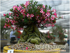 Adenium Grafted Plants