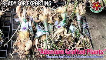Adenium Export