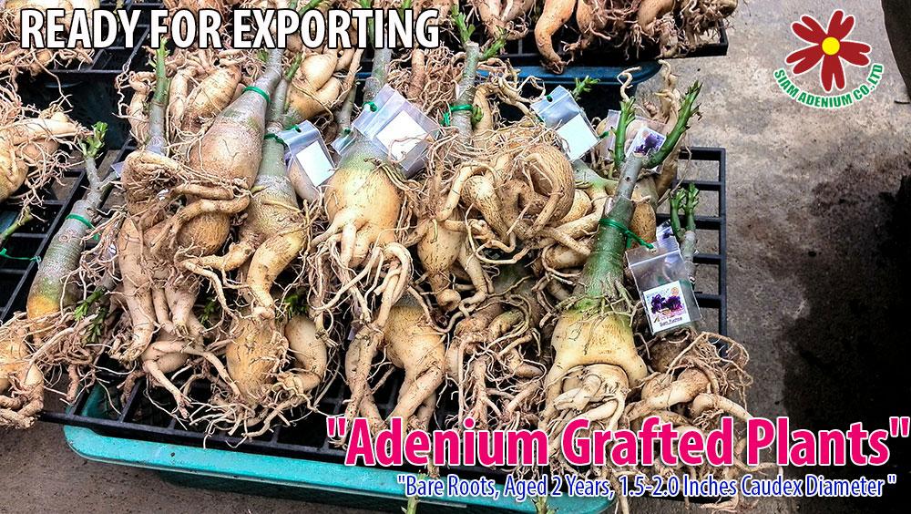 how to make adenium caudex bigger