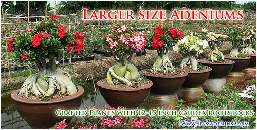 Medium Large Size Adenium