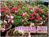 Medium Size Adenium