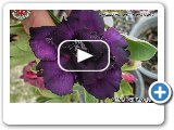 """Deep Purple"" New 2015 Rosy Adenium"