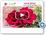 """Siam Rose"" New 2015 Rosy Adenium - The Most Rose Looks"