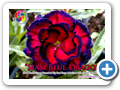 Siam Blue Dragon