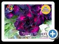 Super Violette