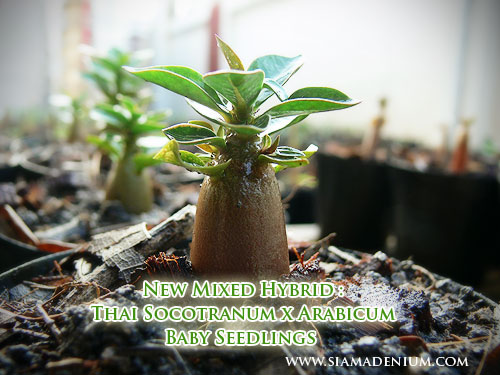 C B B B in addition Big as well Big besides Desch sia Flexuosa In Mlovit A further How To Make Lightbulb Terrarium. on the tiny seed